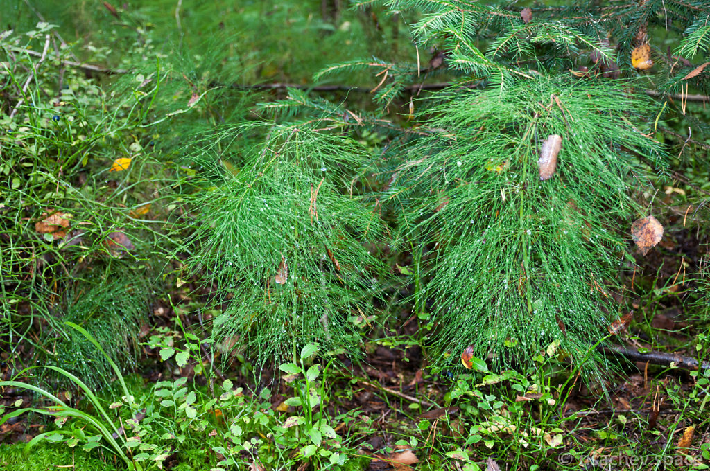 A Dew on a Wood Horsetail