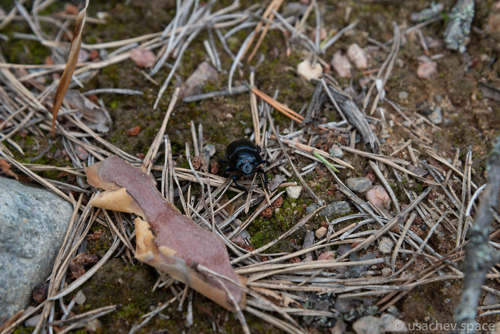 Forest Dung beetle (Anoplotrupes stercorosus)