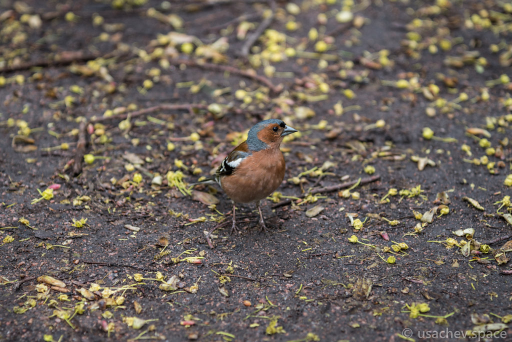 The Chaffinch (Fringilla coelebs) - one of the common birds of S